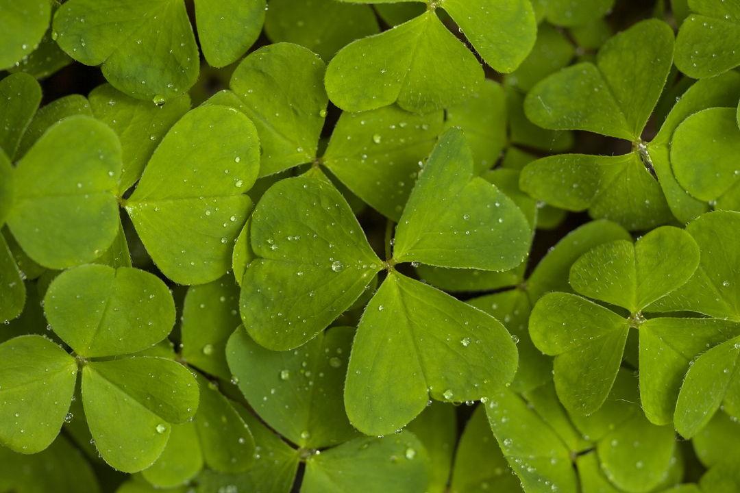 daun semanggi