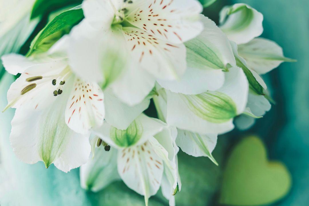 lili putih
