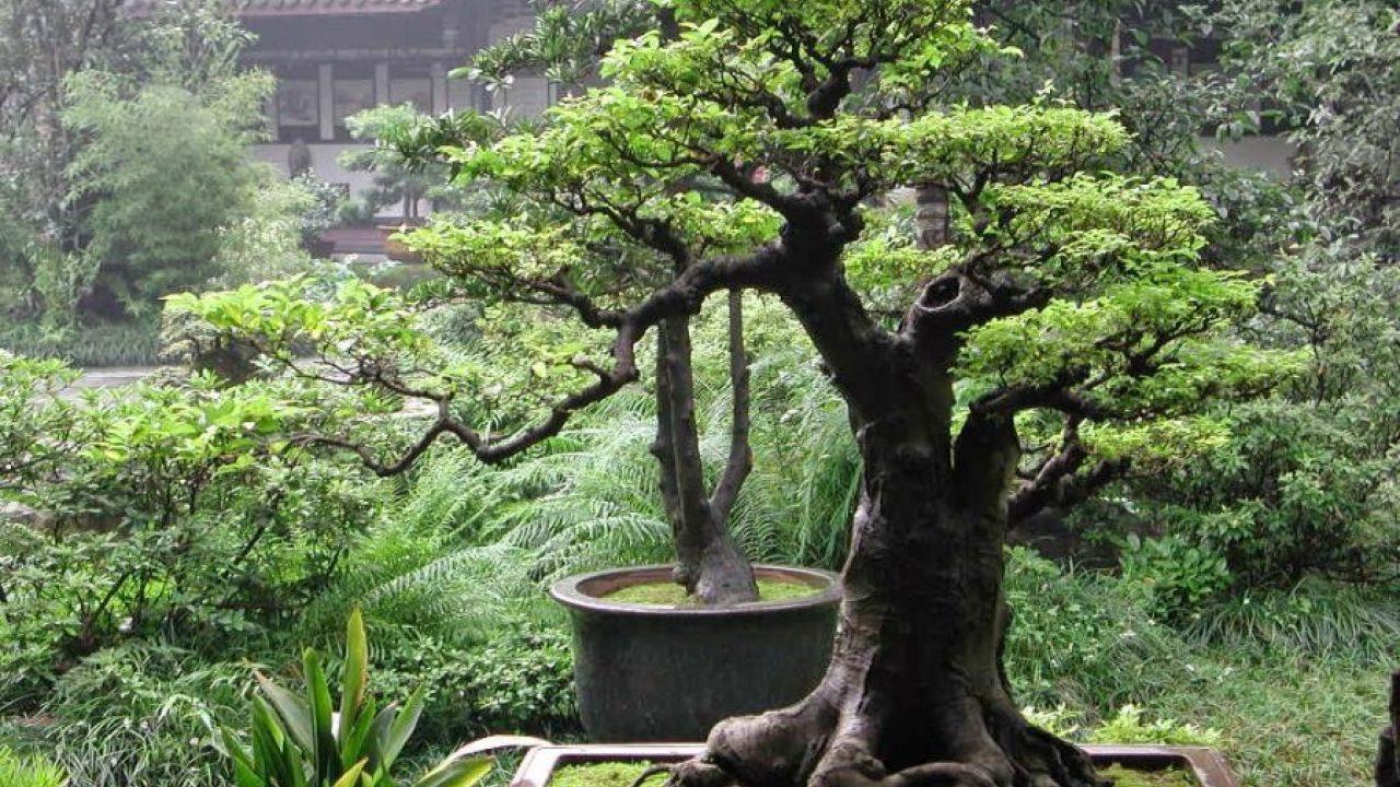 pembuatan bonsai serut