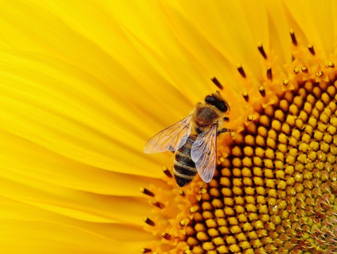 penyerbukan bunga matahari