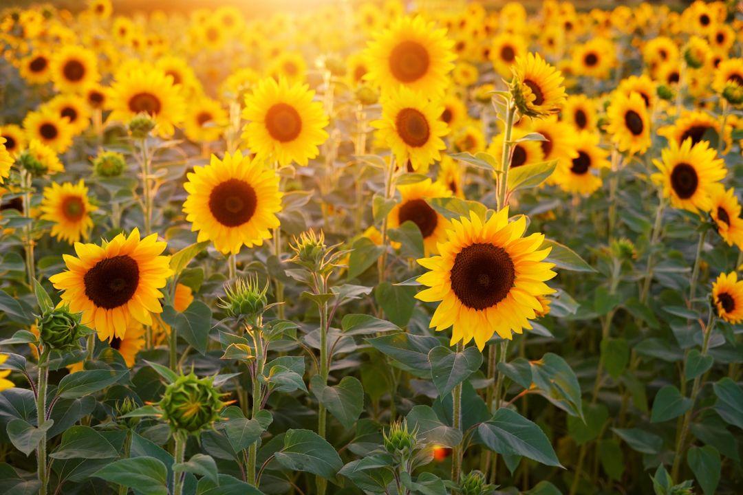 cara merawat bunga matahari penjelasan.id