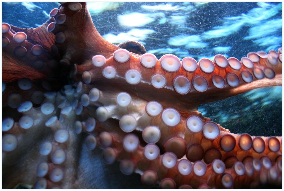 tentakel gurita