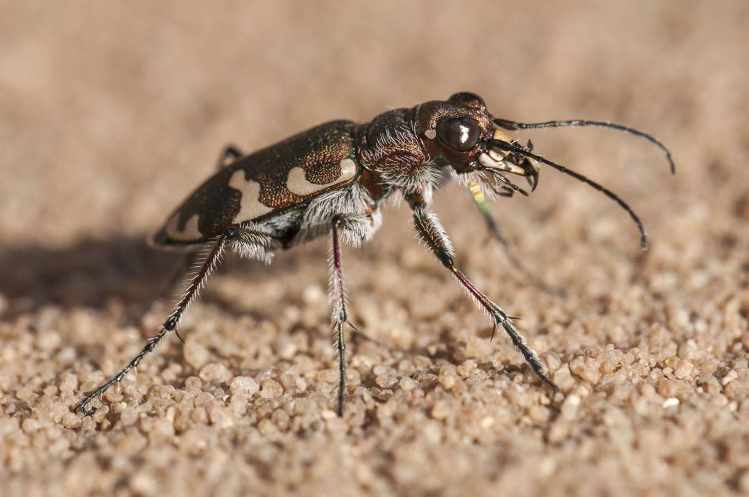 Kumbang Harimau Australia