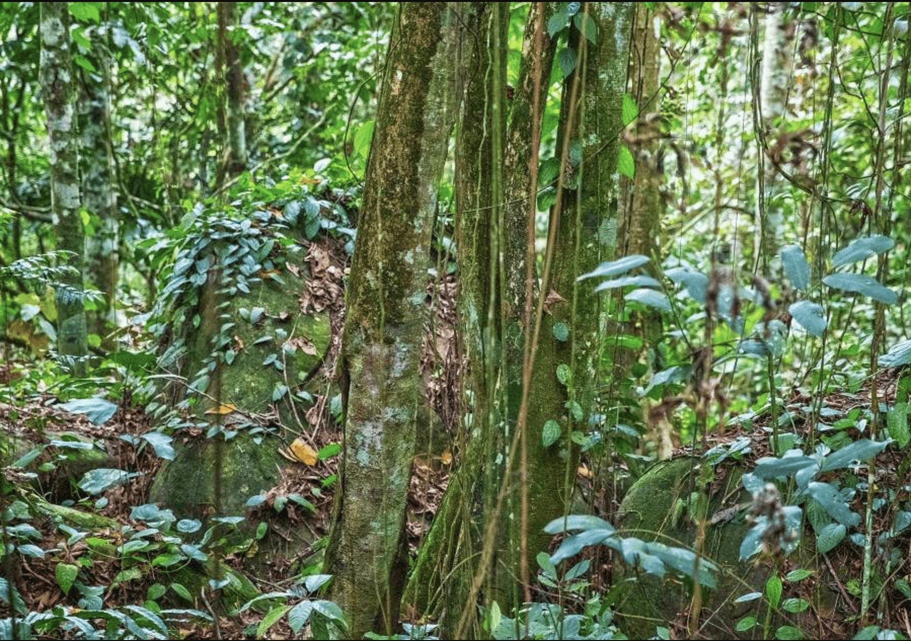 pohon bajakah