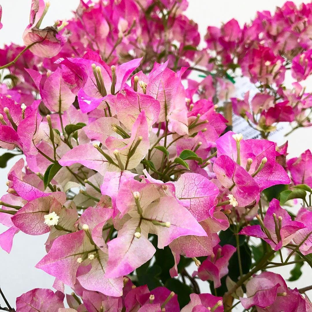 Bunga Bougenville Taksonomi Asal Morfologi 11 Jenis Filosofi