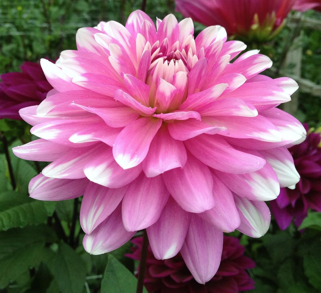 Dahlia Waterlily