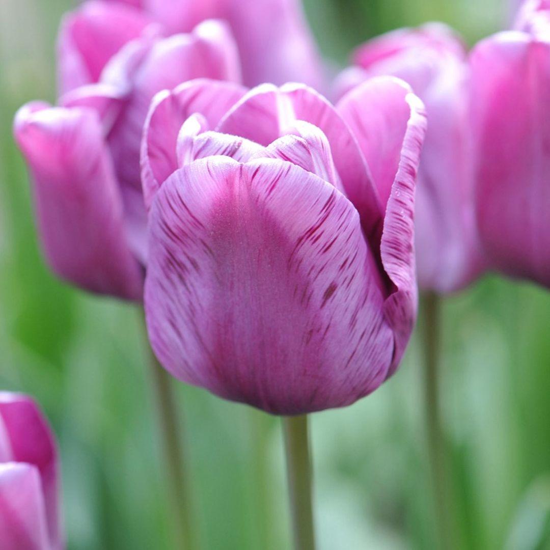 Tulip Single Late