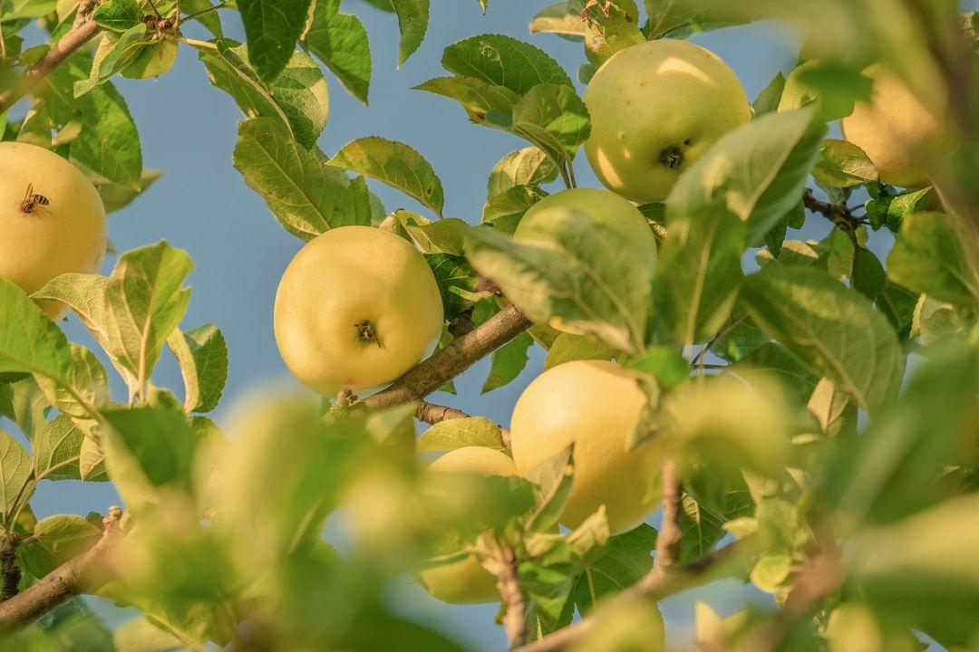 apel kuning