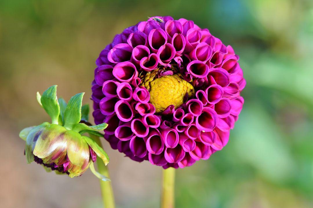 Bunga Dahlia Taksonomi Morfologi Asal Sebaran Aneka Jenis Bunga