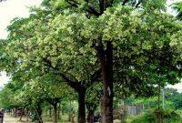 bunga pohon pule