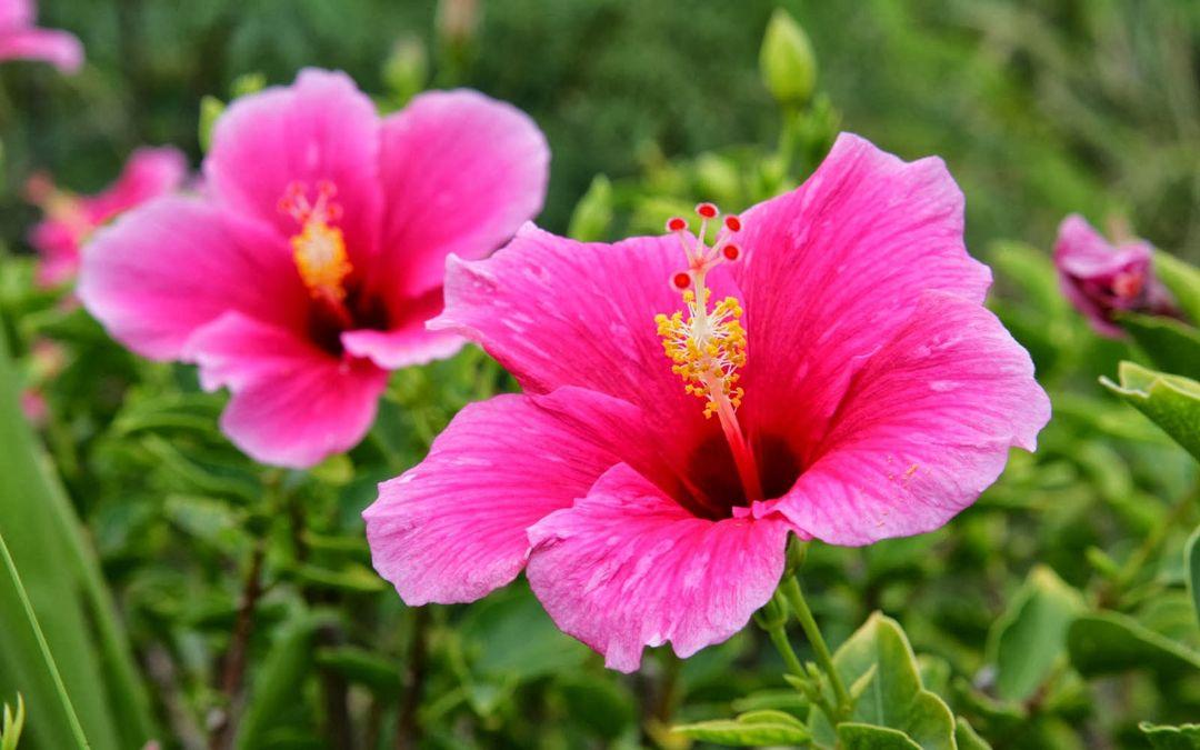 kembang bunga sepatu