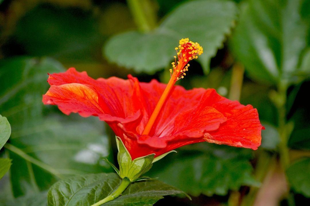 Bunga Sepatu Taksonomi Morfologi Jenis Manfaat Cara Tanam