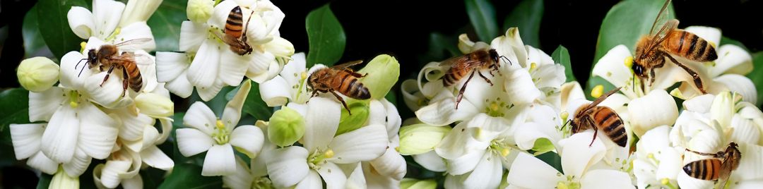 Bunga Melati Taksonomi Morfologi Jenis Makna Fakta Unik Manfaat