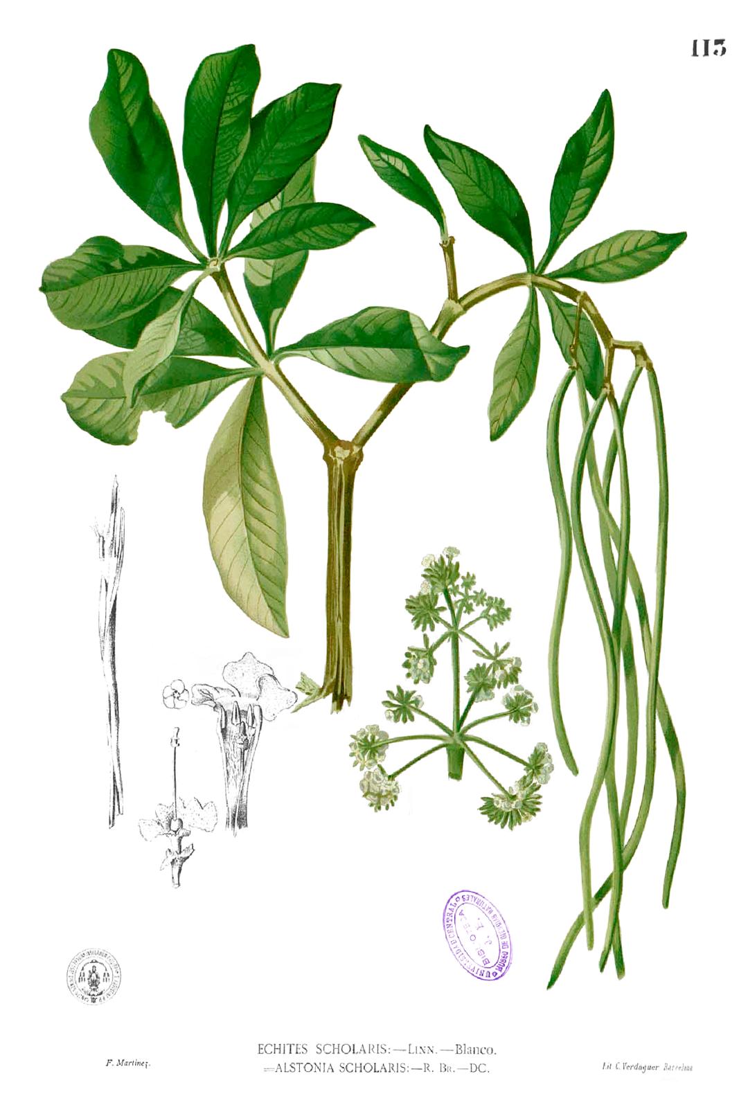morfologi pohon pule