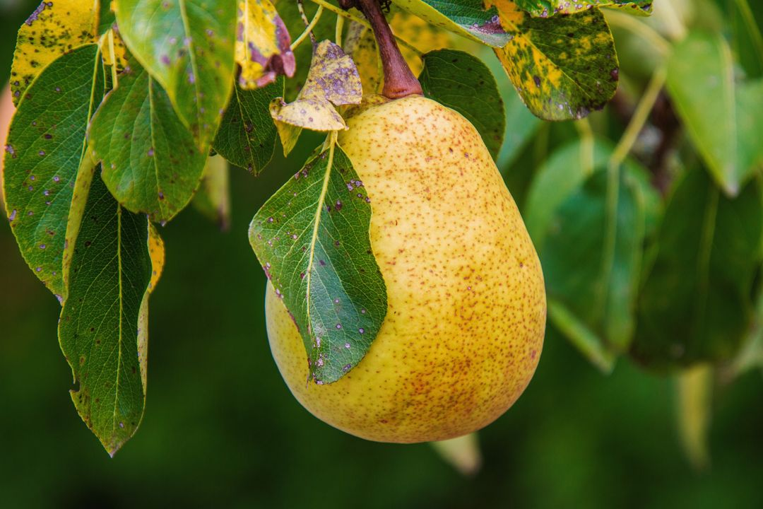 pohon buah pir