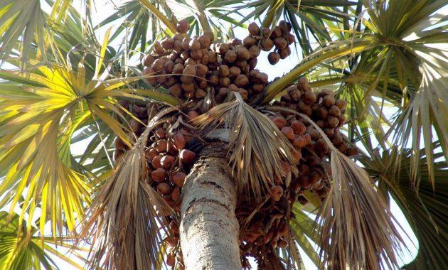 pohon zuriat