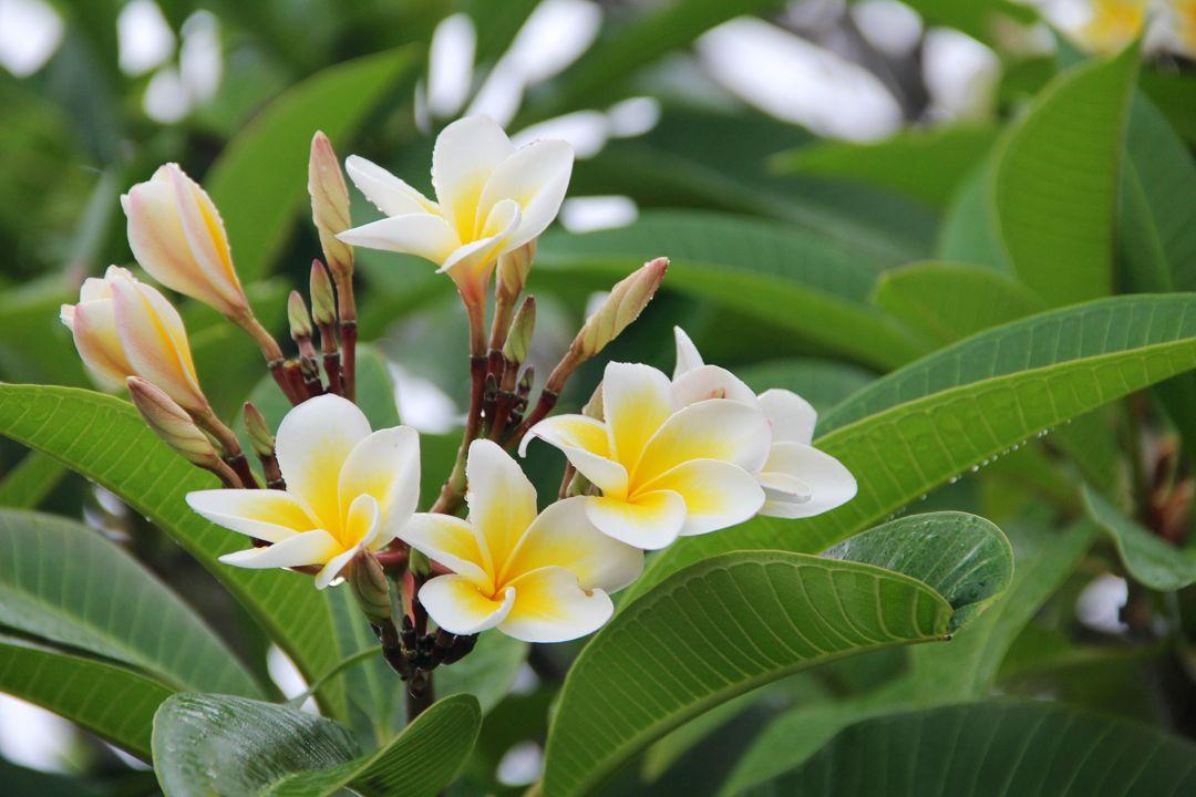 Bunga Kamboja Taksonomi Ciri Morfologi Jenisnya