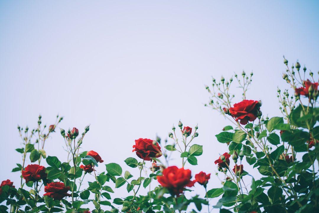 Bunga Mawar Taksonomi Fakta Unik Aneka Manfaat