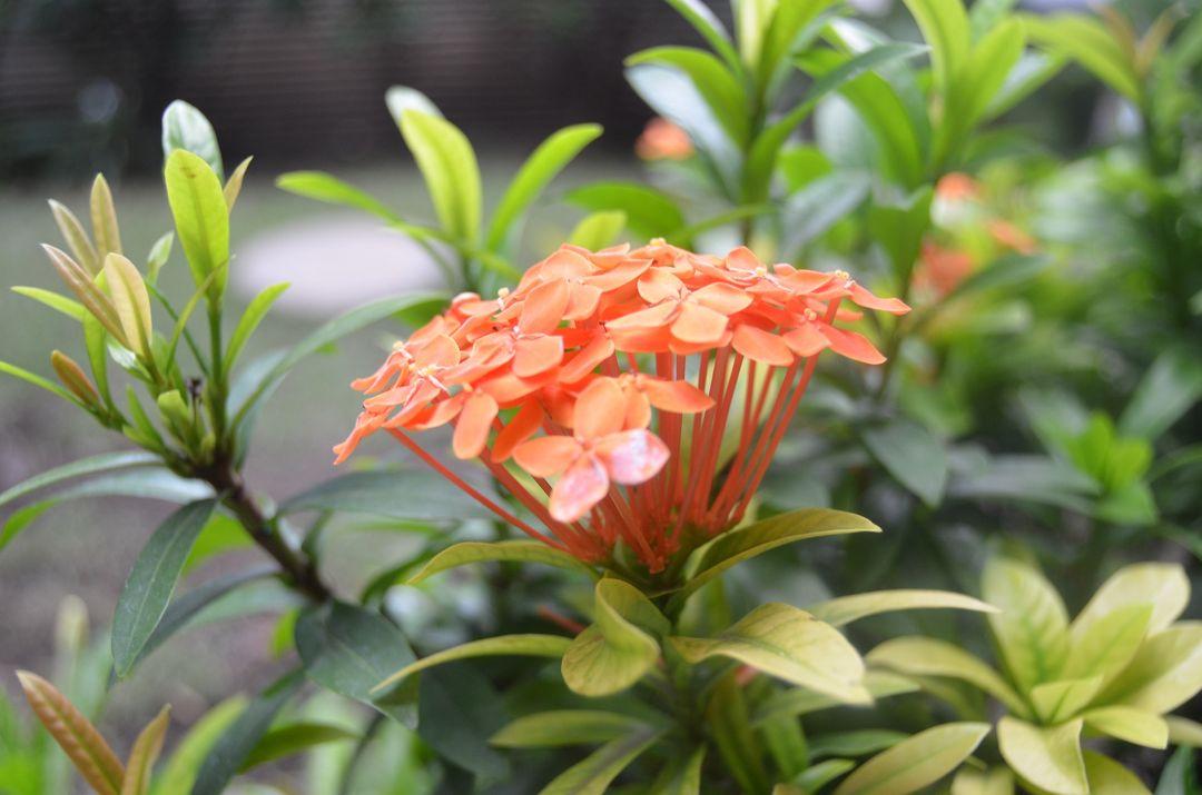 tumbuhan asoka