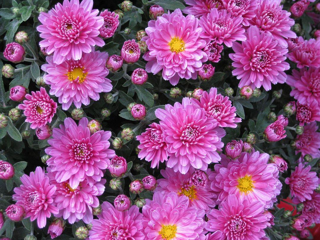 Bunga Aster Taksonomi Ciri Morfologi Jenis Manfaat Cara Tanam
