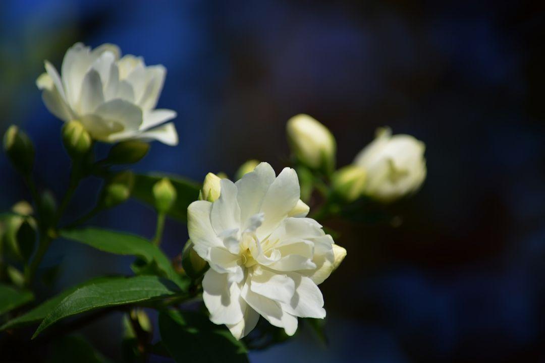 tumbuhan bunga melati