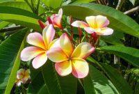 tumbuhan kamboja
