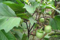tumbuhan kecubung