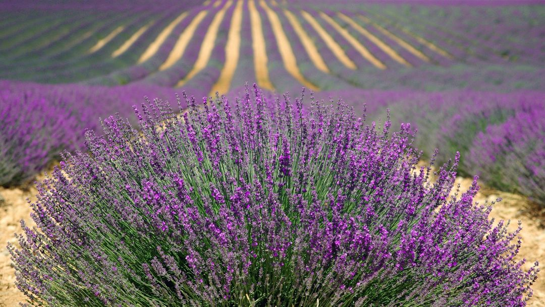 Bunga Lavender Makna Taksonomi Ciri Morfologi Manfaat Cara Tanam