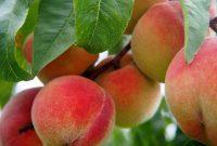 tumbuhan persik