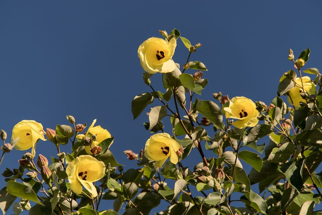 bunga pohon waru