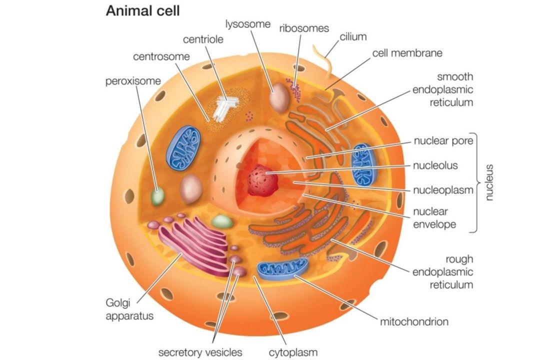 sel hewan