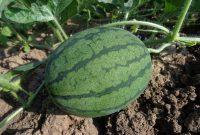 tanaman semangka
