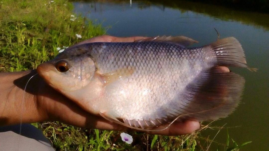 ternak ikan gurami
