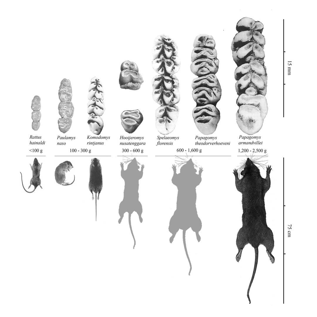 jenis tikus raksasa