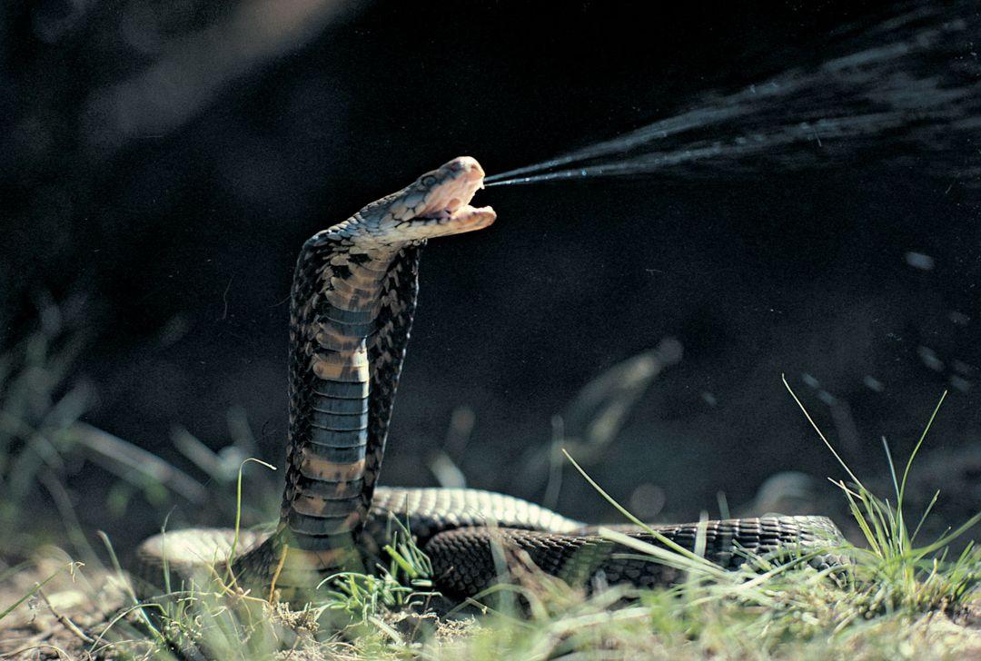kobra hutan afrika