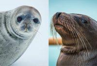perbedaan anjing laut dan singa laut